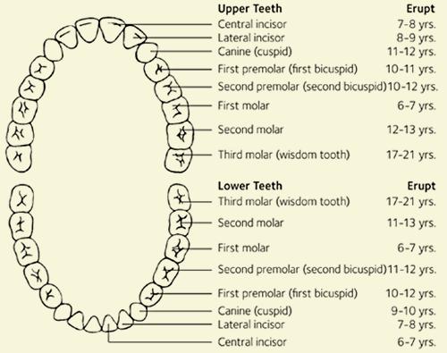 Diagrama permanente de erupción de dientes